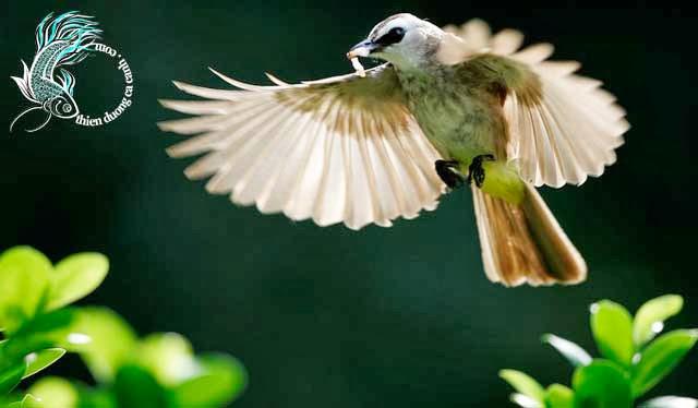 Chim bông lau mày trắng