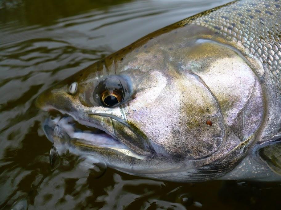 Big Manistee River Coho Salmon