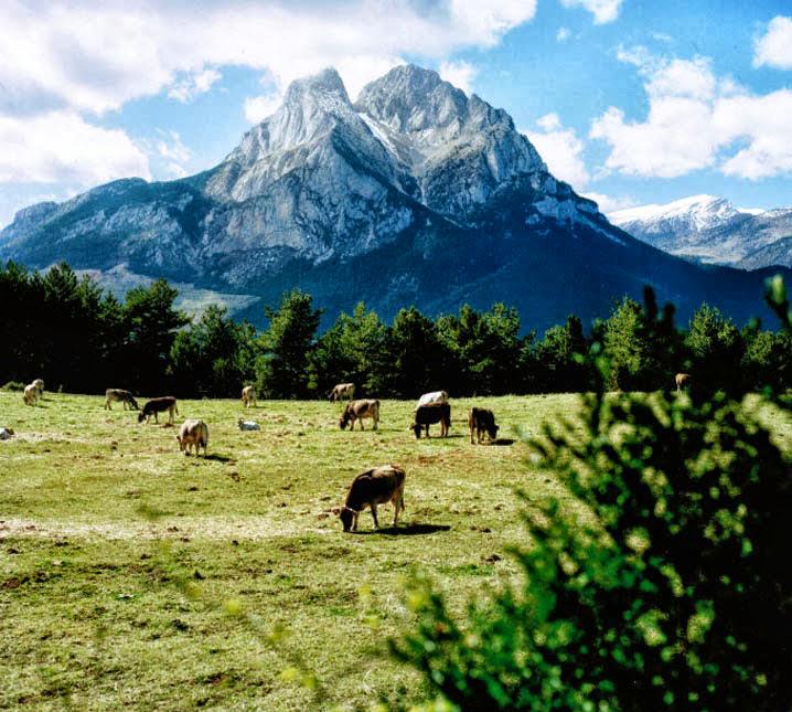 El Racó del Berguedà: Vaques pasturant davant del Pedraforca, l'emblemàtica muntanya del Berguedà