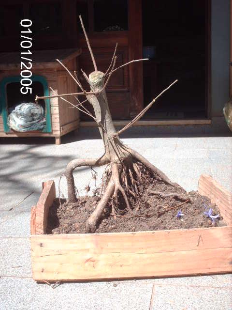 Ficus Microcarpa var. Indica... PICT1616