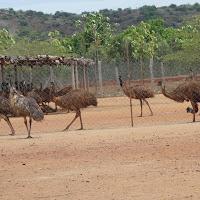 2014-15_emu_birds_farming