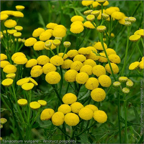 Tanacetum vulgare flowers - Wrotycz pospolity kwiaty
