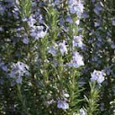Rosemary Oil - History & Rosemary Oil Benefits