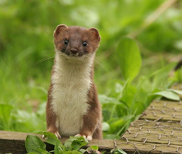 Dangerous of Wild Animals: Stoat Animals