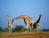 Giraffes are born with the mother standing up