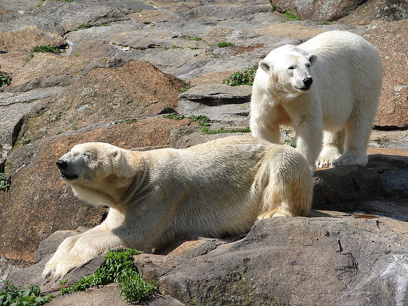 Urso Polar Reino