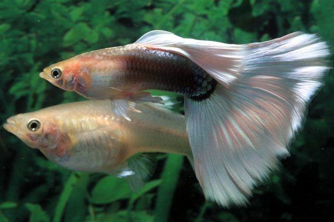 Guppy for Guppy fish food