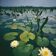 Сонник болото