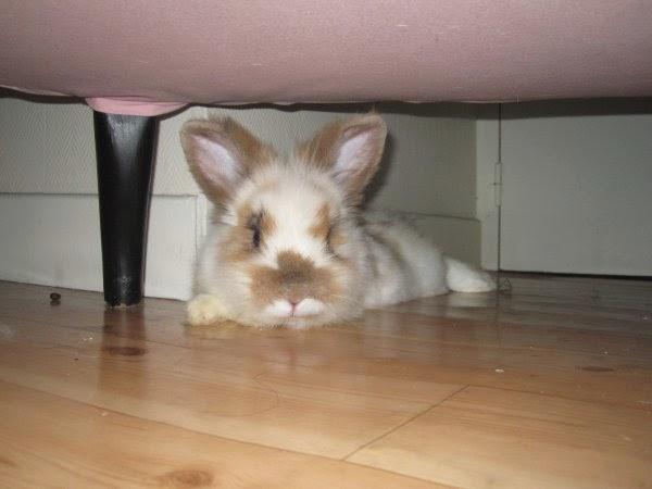 Shota, lapin blanc et marron-[adopté] Shota5-6ab4f