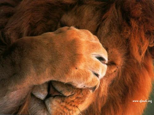 Un timido leone