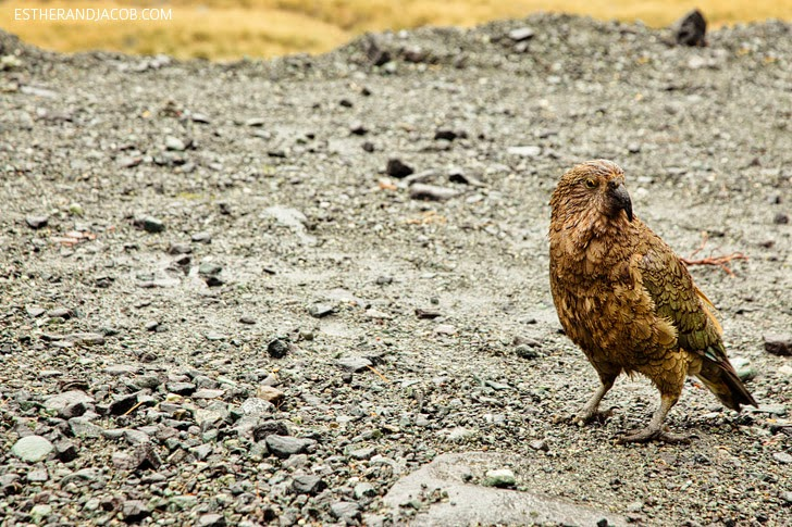 Wild New Zealand Kea Bird at Fiordland National Park | Day 5 Sweet as South Contiki Tour.