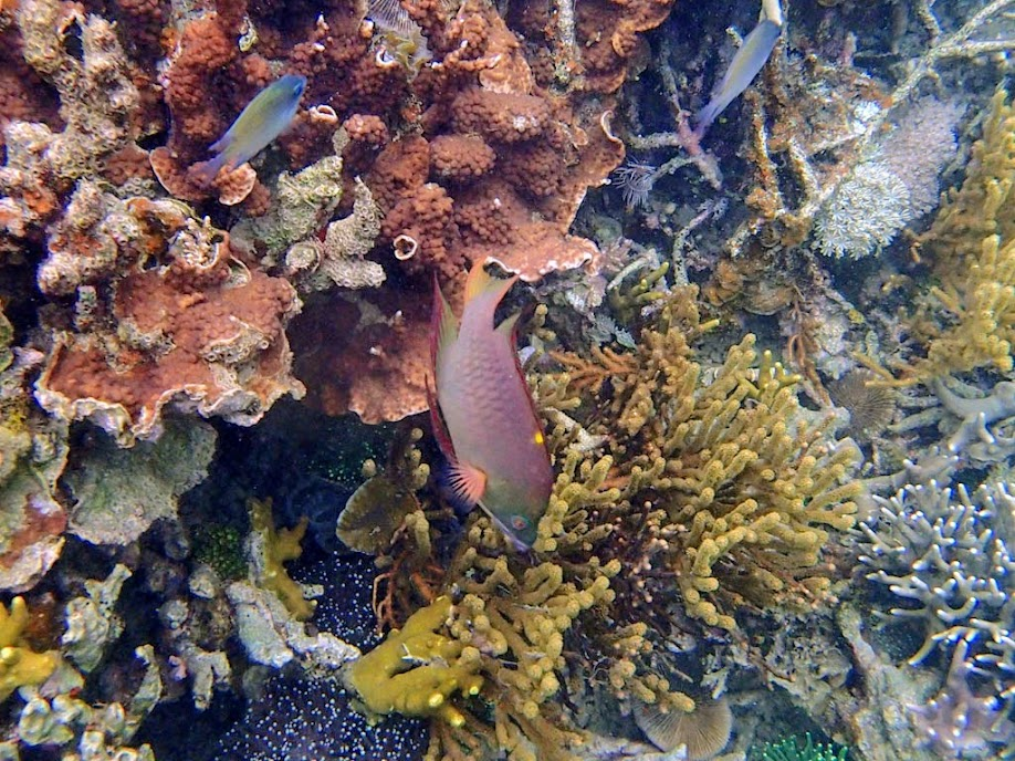 Epibulus brevis (Dwarf Slingjaw Wrasse) Carlson et al. (2008), Sand Island, Palawan, Philippines.
