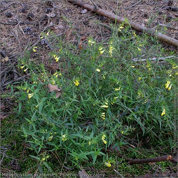 Melampyrum pratense  habit - Pszeniec zwyczajny pokrój