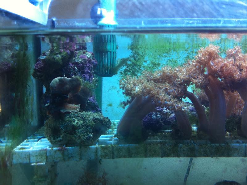 Capnella imbricata (Kenya Tree Coral) 2011_%2525208_16_15_28