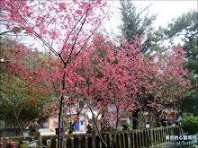清水岩寺前櫻花美景