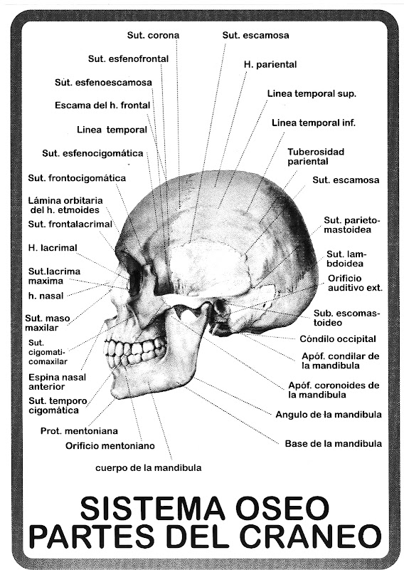 Partes del cuerpo humano para nios de preescolar imagui for Interior del cuerpo humano