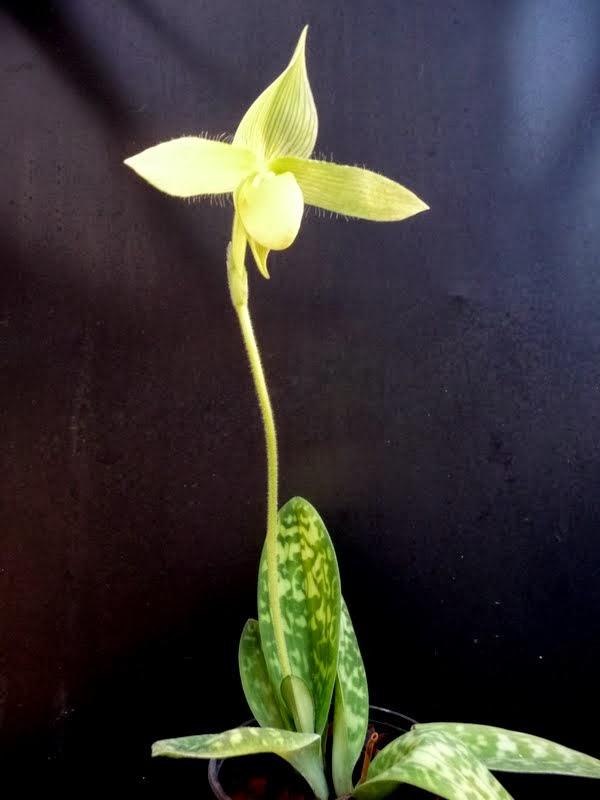 Paphiopedilum sukhakulii f. aureum P1180680