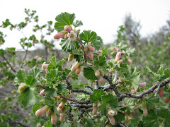 Ribes cereum (Squaw currant)