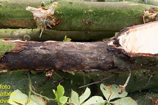 Bomen gekapt Museumlaan in overloon 20-10-2014 (37).jpg