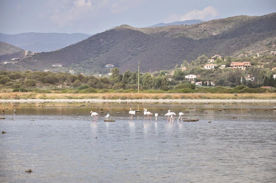 Местные белые фламинго