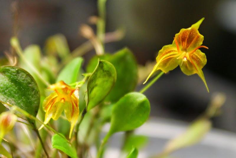 Lepanthes telipogoniflora x filamentosa IMG_0224