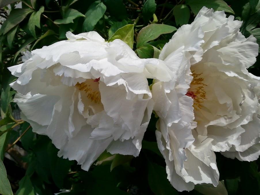floraisons du mois - Page 4 20140425_162539