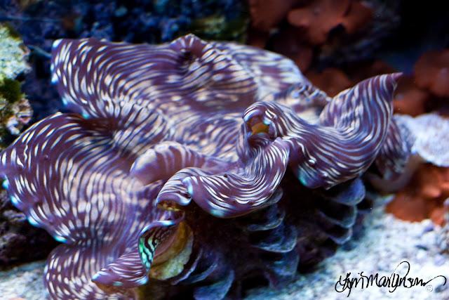 """Giant Squamosa """"Squami"""" Clam Aquarium"""