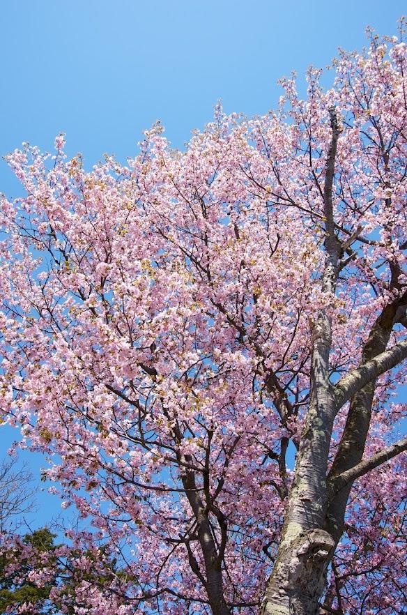 北さんご自宅の満開の桜