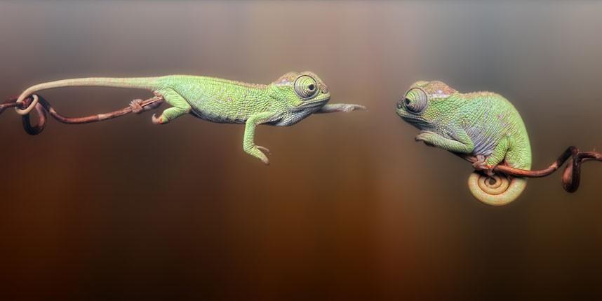 chameleons_2219039k.jpg