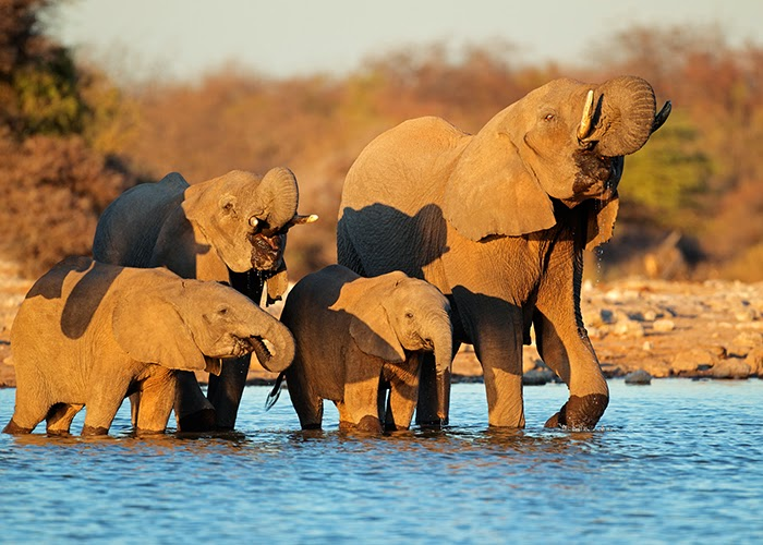 Elephants in a river in Africa
