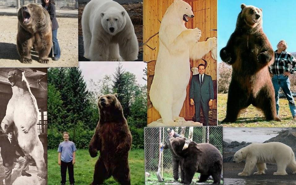 Urso pardo vs Urso polar - Página 2 Ursos+pardos+enormes