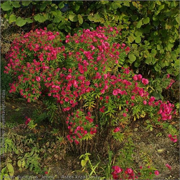 Aster dumosus 'Jenny' habit - Aster krzaczasty 'Jenny' pokrój kwitnącej rośliny