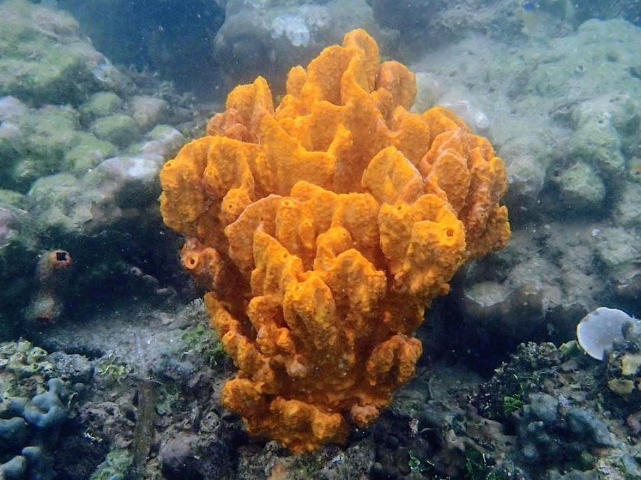 Orange Sponge, Chindonan Island, Palawan. Philippines.