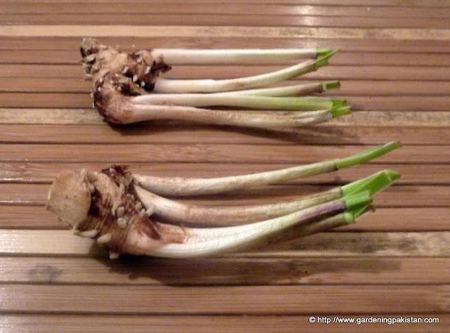 tulbaghia rhizome