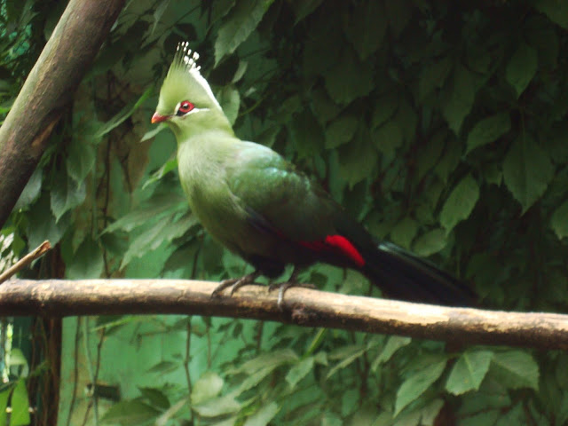 Turako w ptaszarni