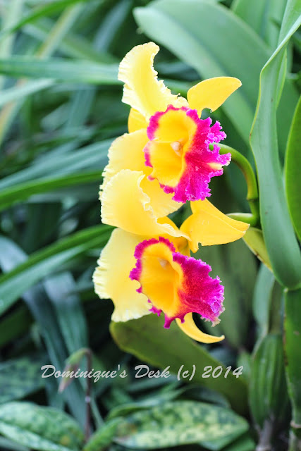 Yellow and Purple  Orchid