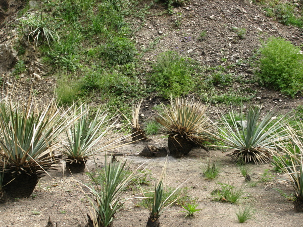 A stand of yucca.