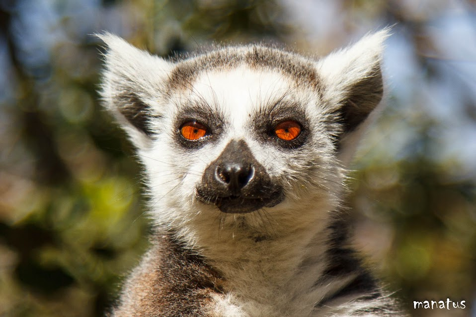 manatus lémur de cola anillada