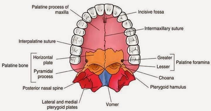 口腔 Oral Cavity 小小整理網站 Smallcollation