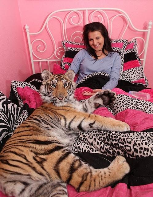 Felicia-Frisco-tidur-dengan-harimau
