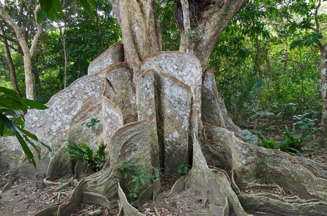巨樹サキシマスオウノキ