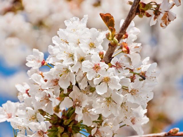 Kirschblütenwanderung