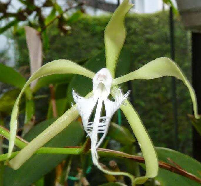 Epidendrum ciliare P1440309
