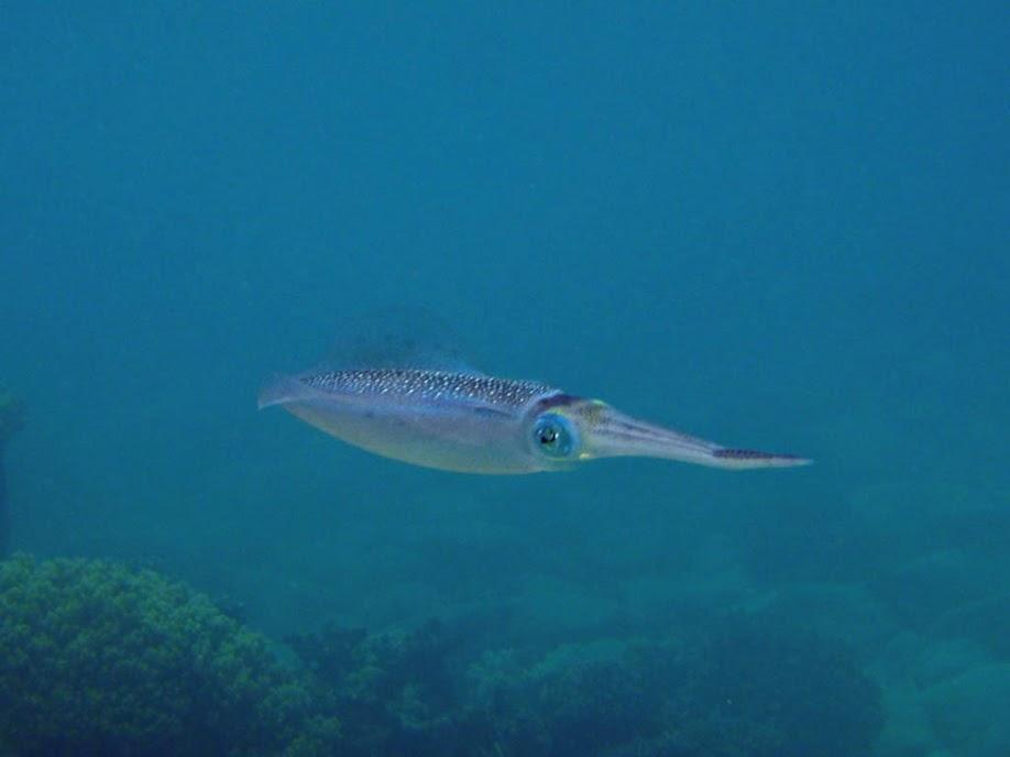 Sepioteuthis lessoniana (Bigfin Reef Squid), Naigani Island, Fiji.