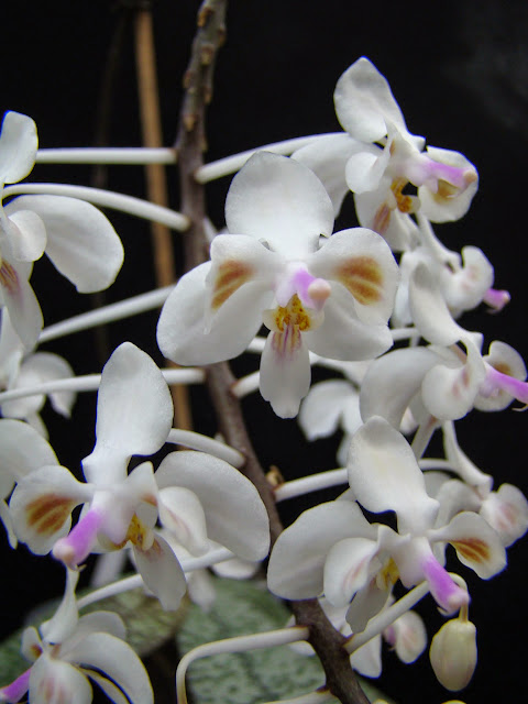 Phalaenopsis celebensis DSC03396