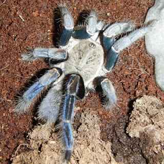 Haplopelma lividum Cobalt Blue Tarantula
