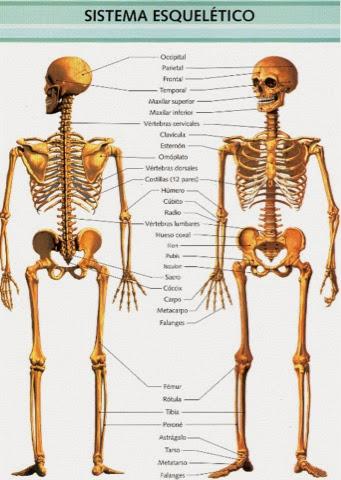 Aparato Respiratorio y Sistema Oseo: Sistema óseo