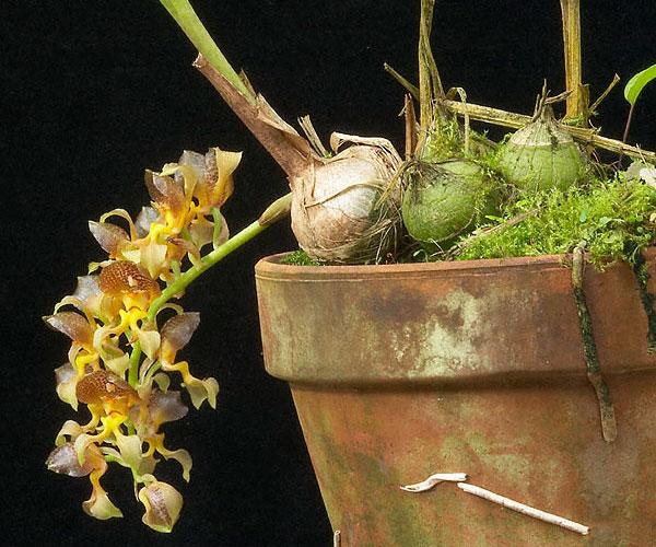 Растения из Тюмени. Краткий обзор - Страница 4 Grobia%252520amherstiae