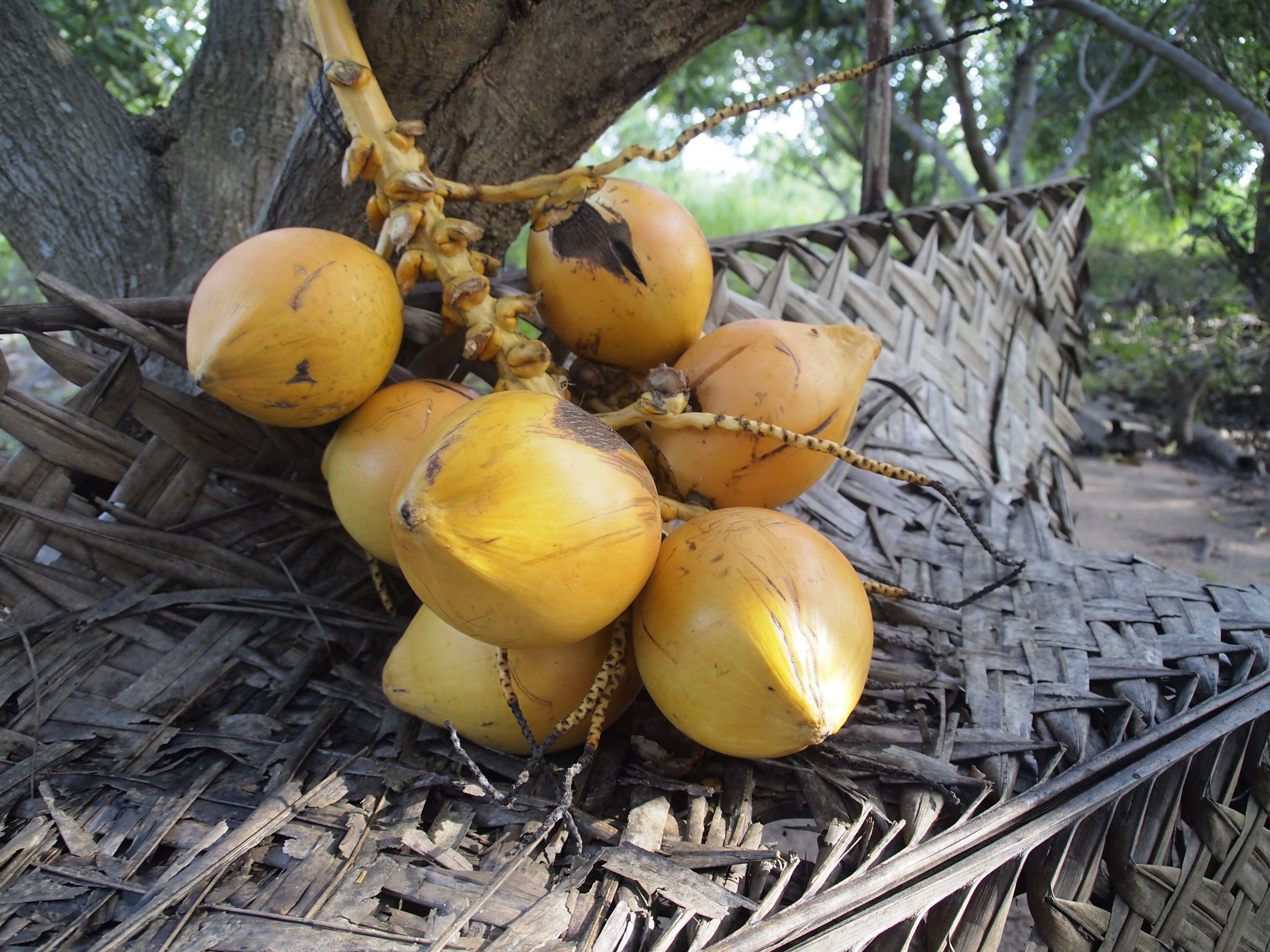 Tambili - king coconut in Sri Lanka