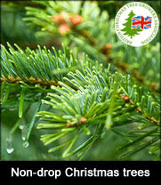 Non drop real Christmas trees